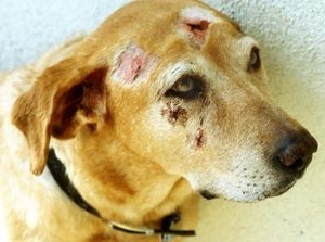 Дерматомикозы у собак