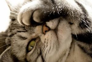 Что делать, если у кошки или кота опухла морда