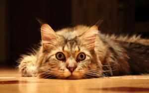 Поза здоровой и больной кошки