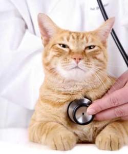 Симптомы инсульта у кошек