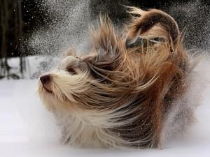 Себорея (перхоть) у собак