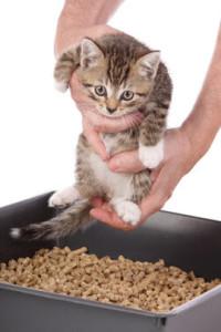 Как-приучить-котенка-к-лотку.