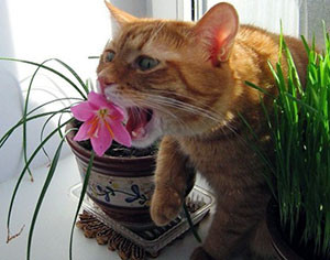 Что делать, если кот ест домашние цветы?