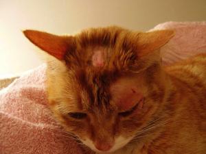 Грибковая инфекция у кошек и котов