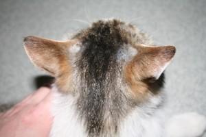 Ослабленный иммунитету кошек и котов