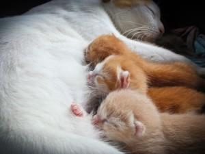 Нарушение лактации у кошек