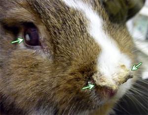 Инфекционные заболеваниякак причина пассивного (вялого) поведения кролика