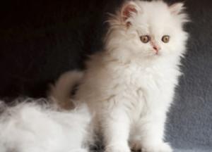 Почему линяет кот?