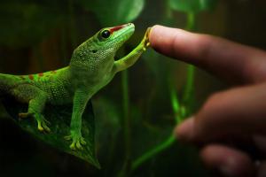 Почему геккон не ест?