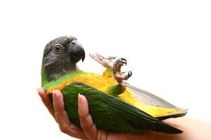 Заболевания попугаев, при которых необходима эвтаназию