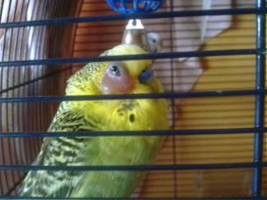 Орнитоз,пситтакоз,попугайная болезнь у попугаев