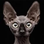 Уши кошек и котов — анатомия, уход, заболевания