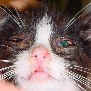 Лечение кошачьей хламидофилы