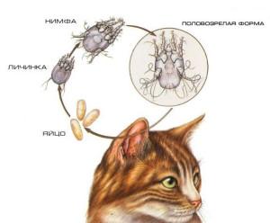 Жизненный цикл развития ушного клеща у кошек и котов