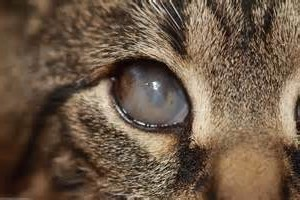 Симптомы кошачьей хламидофилы