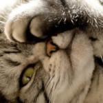 Кошачья хламидофила — симптомы, группы риска, диагностика, лечение