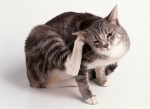 Отодекоз (ушная чесотка)у кошек и котов