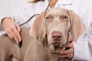 Гиперадренокортицизм (болезнь Иценко-Кушинга) у собак