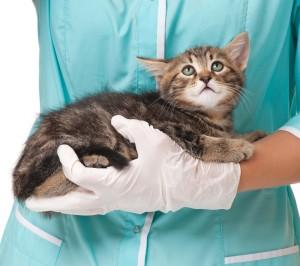 Аллергический контактный дерматит у кошек и котов
