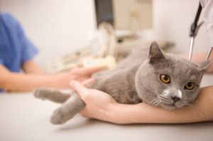 Возможна ли профилактика анафилаксии у кошек и котов?