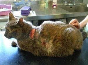 Болезнь гипофизарный гиперадренокортицизм у кошек и котов