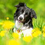 Заражение личинками овода у собак — симптомы, диагностика, лечение, профилактика