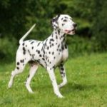 Рак кожи, как результат солнечного ожога у собак