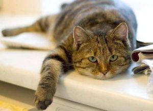 Кошка не ест из-за вирусной инфекции