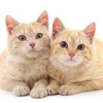 Вязка и беременность у кошек — поведение, признаки, этапы