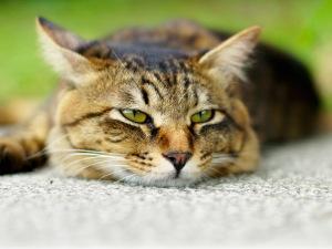Симптомы, представляющие угрозу жизни и здоровья кошки