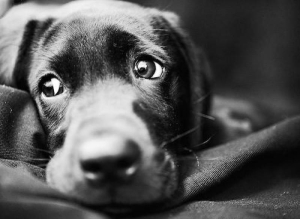 Уход за глазами больной собаки