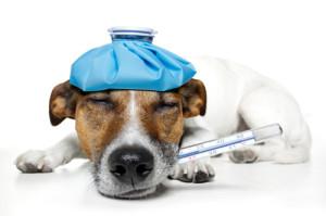 Как измерять температуру тела у собаки