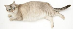 Фазы беременности кошки