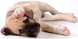 Причины появления демодекоза (подкожного клеща) у собак и кошек