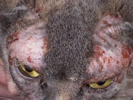 Лечение демодекоза (подкожного клеща) у собак и кошек