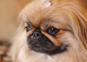 брахицефал собака