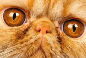 кот брахицефал