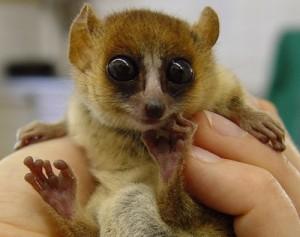 soderzhanie-lemurov-v-dome