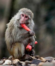 кормление приматов