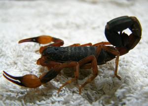Soderzhanie-skorpiona-v-dome
