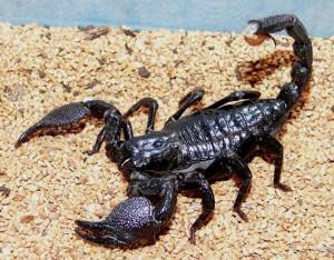 Obraz-zhizni-skorpionov