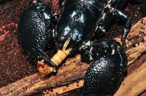 Uslovija-kormlenija-skorpionov-v-domashnej-srede