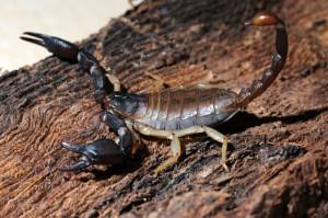 Древесный скорпион