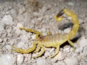 омдурманский скорпион