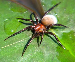 Серебрянка или водяной паук