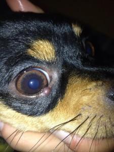 Ячмень на глазу у собаки – что это такое и как его распознать?