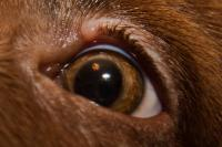 Ячмень у собаки на глазу - симптомы