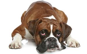 Лечение заболеваний глаз у собак