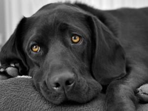 Правильный уход за глазами собаки