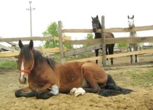 Диагностикагриппа лошадей